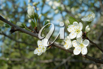 Springtime, new life and beauty in nature concept - white apple flowers on the branch of apple with green leaves under spring sunlight closeup view