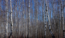 Early spring birch grove under sunlight on a background of blue sky