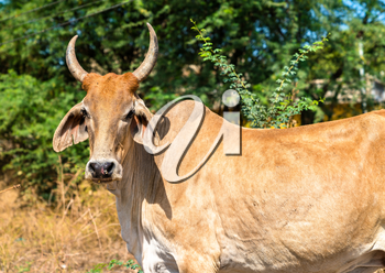 Cow in Champaner-Pavagadh Archaeological Park - Gujarat state of India