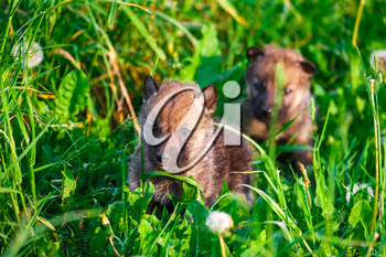 European Gray Wolf Cubs in a Grass in a Spring Day