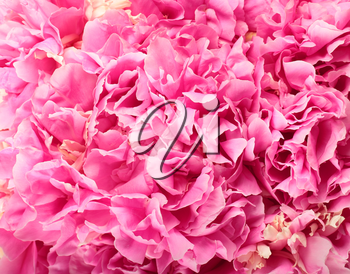 Pink peony flowers for background