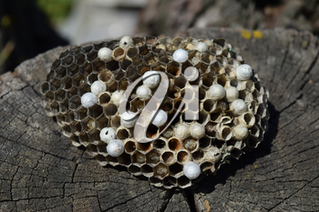 Wasp nest lying on a tree stump. Wasps polist. The nest of a family of wasps which is taken a close-up.