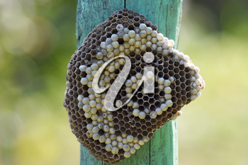 Wasp nest attached to a wooden board. Wasps polist. The nest of a family of wasps which is taken a close-up.