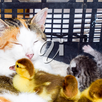 Cat foster mother for the ducklings. Cat in a basket with kitten and receiving musk duck ducklings.