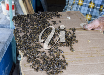 A large congestion of bees on a sheet of cardboard. Swarming of the bees. Honey bee