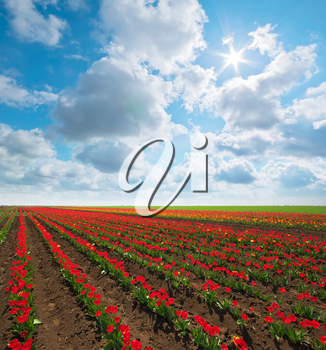 Meadow of tulips. Composition of spring nature.