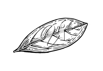 Bay leaf ink sketch. Isolated on white background. Hand drawn vector illustration. Retro style.