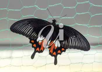 Tropical butterfly Papilio polytes on the grid.