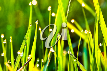 Green grass in the dew on the lawn. Macro photo of wildlife, flowers and leaves of plants