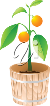 orange tree in a wooden tub isolated on a white background