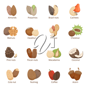 Vector illustration of different nuts. Vector set isolated on white background. Organic nuts collection