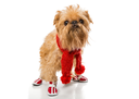 Dog breed Brussels Griffon in a red knit scarf and boots, isolated on white