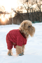 The dog of breed the brussels griffon  walks in the winter in a warm jacket and boots.