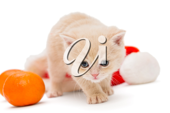 Small British kitten with a tangerine and a Santa hat, isolated on white