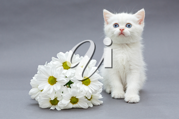 White British kitten with blue eyes and a bouquet of daisies on a gray background