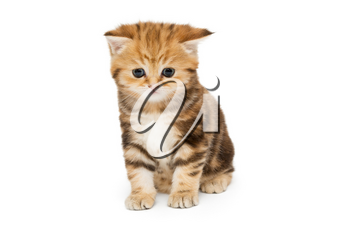 Red, little British kitten, isolated on white background