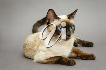 Beautiful adult Siamese cat, on grey background