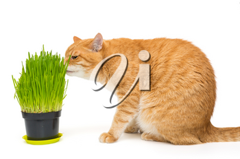 Domestic red cat and pot with cat grass, isolated on white