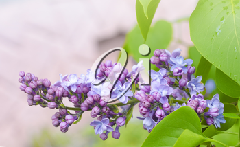 The beautiful fresh lilac violet flowers on a wooden background. Close up of lilac blossoms. Spring flower, twig lilac.