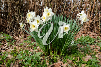 A Group of White Daffodils Flowering in Spring Sunshine