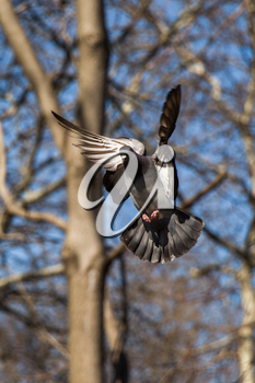Single pigeon in the air with wings wide open