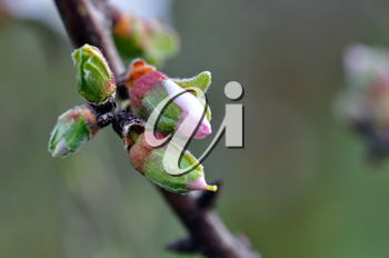Almond tree with flower buds in February. End of winter beginning of spring.
